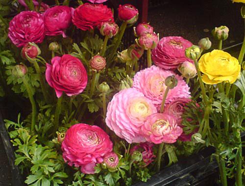 OPG Herega----Ljetnice-vrtno_cvijece